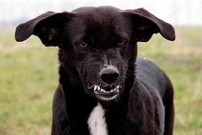 angry rabid dog