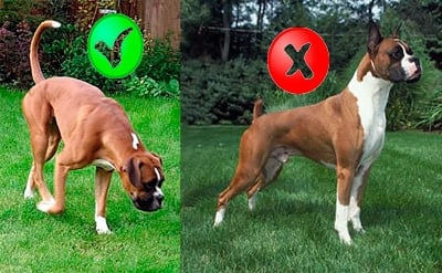 boxer with cut tail
