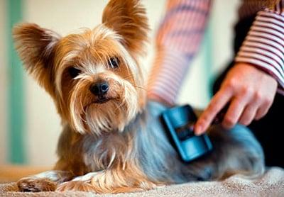 brushing a dog