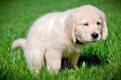 puppy do poop
