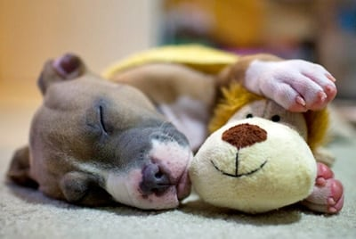 pitbull sleeping